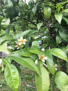 緑の葉が植わった木の写真・画像素材[3246790]