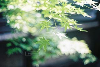 青紅葉の美しさと煌めきの写真・画像素材[2377476]