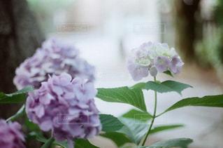 紫陽花の季節の写真・画像素材[2379641]