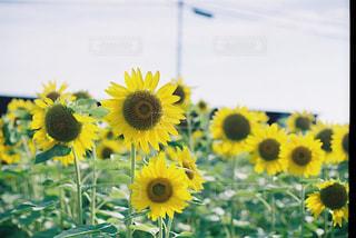 フィルムの向日葵の写真・画像素材[2379648]