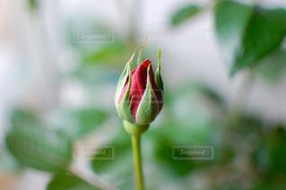 バラの蕾の写真・画像素材[2397594]