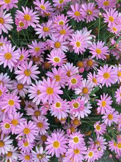 ピンク色の花が満開の写真・画像素材[2385519]