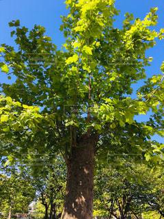生茂る木の写真・画像素材[2388299]