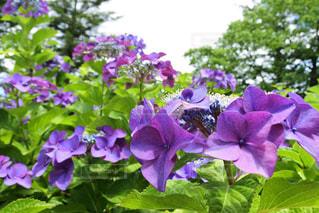 紫色の花のクローズアップの写真・画像素材[2378581]