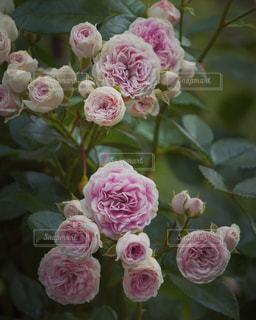 ピンクのバラの写真・画像素材[2379125]