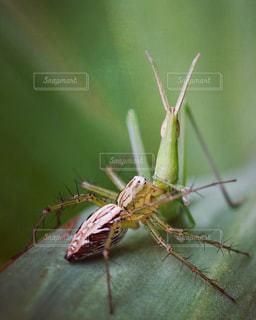 バッタを捕食する蜘蛛の写真・画像素材[2379126]