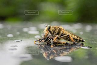 ミツバチの戦いの写真・画像素材[2381190]