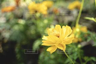 右下に光が当たっているキバナコスモスの花の写真・画像素材[2389410]