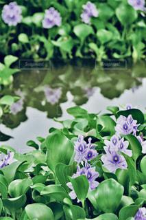 水面に映るホテイアオイのクローズアップの写真・画像素材[2399568]