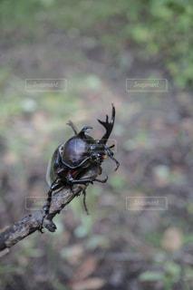 カブトムシの頭からクローズアップの写真・画像素材[2401062]
