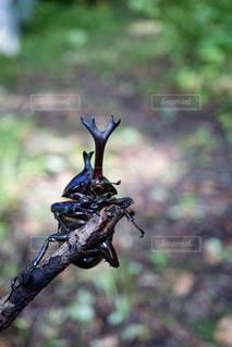 枝にしがみついたカブトムシのおなか側の写真・画像素材[2401063]