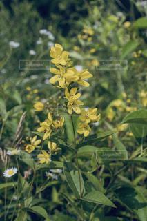 黄色い花のセンダイハギの写真・画像素材[2405629]