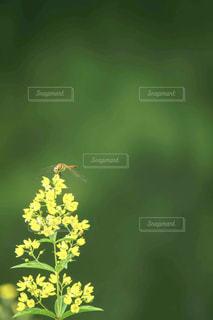 緑ボケをバックに黄色い花と赤トンボの写真・画像素材[2405632]