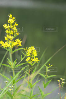 黄色い花のクローズアップの写真・画像素材[2405633]