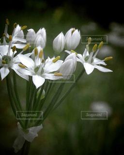 ダークグリーンの背景にニラの花のアップの写真・画像素材[2415948]