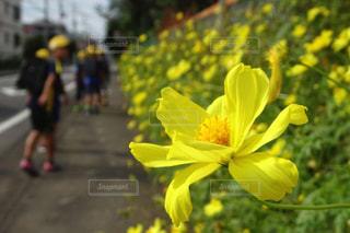 通学路の小学生と黄色いコスモスの写真・画像素材[2472207]
