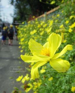 小学生のぼかしと通学路に咲く黄色いコスモスの写真・画像素材[2472208]