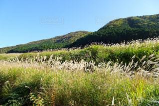 風になびくススキの草原の写真・画像素材[2482224]