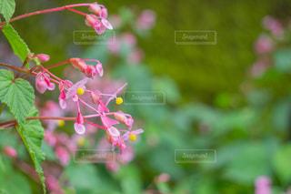 シュウカイドウのクローズアップの写真・画像素材[2487774]