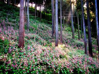 山の斜面に群生するシュウカイドウの写真・画像素材[2487786]