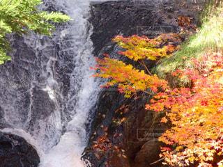 濡れた滝の岩にモミジが散る風景の写真・画像素材[2503099]