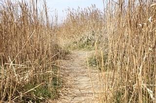 葦原の中の道の写真・画像素材[2619102]