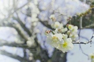 縁起物の梅の花の写真・画像素材[2621180]