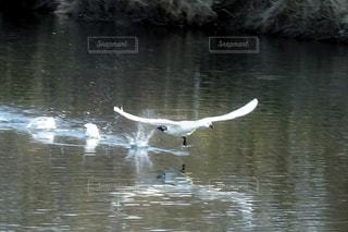 白鳥が水を蹴って飛び立つ瞬間の写真・画像素材[2836524]