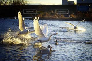 水を蹴って飛び立とうとするコハクチョウの写真・画像素材[2836518]