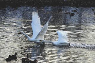 突く白鳥と逃げる白鳥がいる風景の写真・画像素材[2836522]