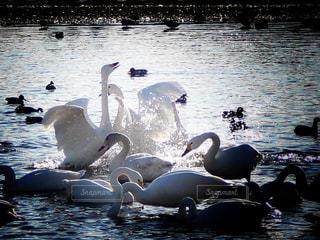 水飛沫を光らせて羽ばたく白鳥の写真・画像素材[2836520]