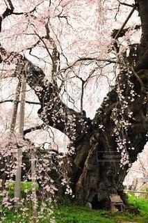 桜の木の写真・画像素材[2683445]