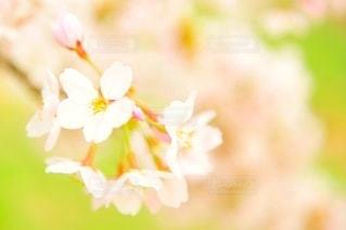 桜の花の写真・画像素材[2683446]