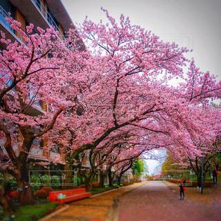 🌸🌸🌸🌸桜🌸🌸🌸🌸の写真・画像素材[2384185]