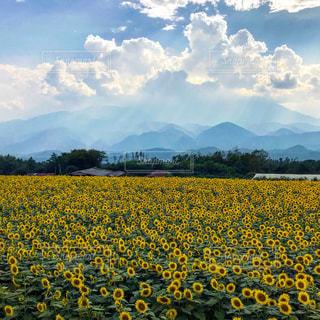 ひまわり畑と夏の山岳の写真・画像素材[2385364]