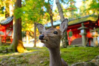 鹿。の写真・画像素材[2389553]