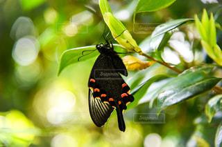未熟蝶の写真・画像素材[2410944]