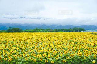 向日葵畑の写真・画像素材[2387210]