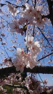 桜日和の写真・画像素材[2387863]