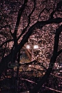 街頭に照された桜。の写真・画像素材[4298746]