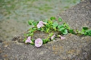 コンクリートの裂け目から咲く花の写真・画像素材[4433925]