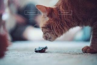 匂いを嗅ぐ猫の写真・画像素材[4589310]