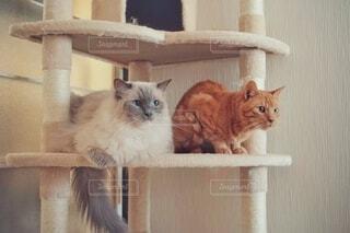 キャットタワーの上で遠くを見つめる猫の写真・画像素材[4766365]