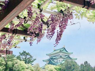 藤棚越しの名古屋城の写真・画像素材[2429609]
