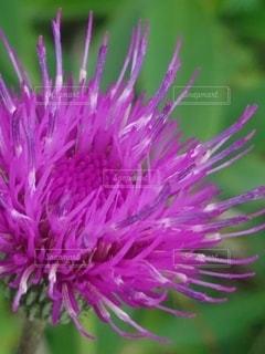 植物のピンクの花の写真・画像素材[2391103]