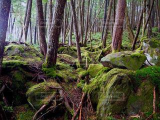 苔むした森の写真・画像素材[2766888]