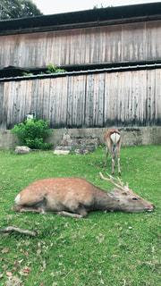 伏せる鹿の写真・画像素材[2767488]