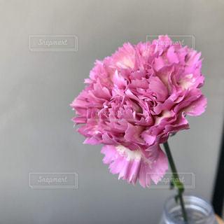 ピンクのカーネーションの写真・画像素材[2768110]
