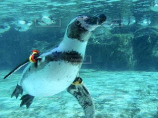 泳ぐペンギンの写真・画像素材[2832282]