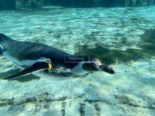 泳ぐペンギンの写真・画像素材[2832286]